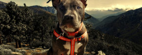 How Raw Food Can Enhance Your Pitbull Dog's Health