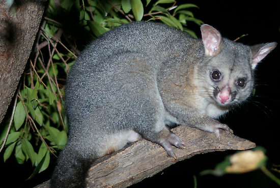 Brushtail
